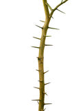 Thorn tree,a stiff, sharp-pointed, straight or curved woody proj Royalty Free Stock Photo