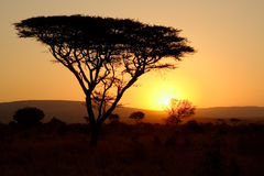 Thorn tree at sunset. Thorn tree silhouetted against the setting sun  - Mkuze game reserve, Zululand Stock Images