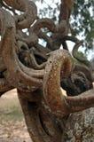Thorn Tree un símbolo del genocidio en campos camboyanos de la matanza Imagen de archivo
