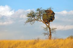 Thorn-tree and weaver nest stock photography