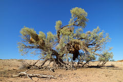 Thorn tree and weaver nests Stock Image