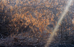 Thorn trees with sun rays Stock Photography