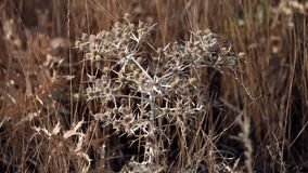 Thorn tumbleweed field Royalty Free Stock Photo