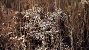 Thorn tumbleweed field stock footage