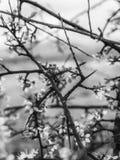 Thorn Among Vines och blommor i svartvitt Arkivfoto