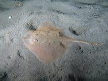 thornback луча Стоковые Фото