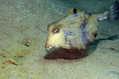 Thornback boxfish Royalty Free Stock Image