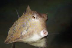 Thornback boxfish Royalty Free Stock Photos