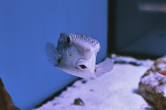 Thornback boxfish - solitair fish swimming close Royalty Free Stock Photography