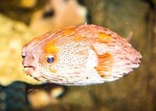 Thornback boxfish tetrasomus gibbosus Stock Images