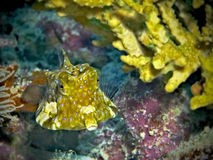 Thornback Cowfish Royalty Free Stock Photos
