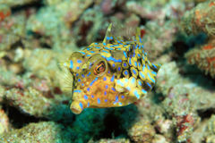 Thornback Cowfish Royalty Free Stock Photography