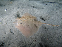 Thornback Ray. Raya Clavata on the sand also known as Thornback Ray (USA - England) or Raye ouclèe (France) or Raya de Clavos (Espagna). Shotted in the wild Stock Photos
