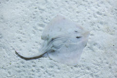 Thornback ray (Raja clavata). Thornback ray (Raja clavata), also known as the thornback skate. Wild life animal Stock Images