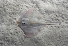 Thornback ray Raja clavata, also known as the thornback skate. Wild life animal Royalty Free Stock Image