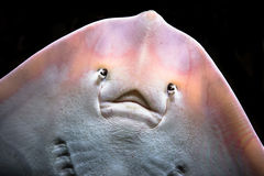 The thornback ray Stock Image