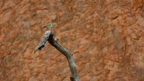 Thornbill calling out at Uluru-Kata Tjuta National Park Stock Image
