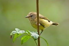 thornbill kolor żółty Fotografia Royalty Free