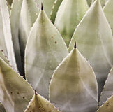 Thorned wieka roślina lub agawa Ostro, Fotografia Royalty Free
