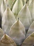Thorned wieka roślina lub agawa Ostro, Obrazy Royalty Free
