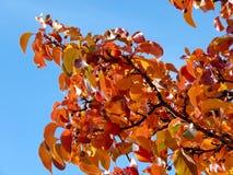 Thornhill在树的红色叶子2016年 库存照片