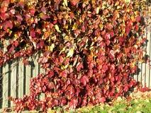 Thornhill τα φύλλα φθινοπώρου σε έναν φράκτη 2016 Στοκ Φωτογραφίες