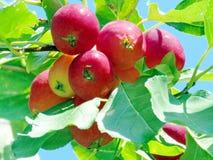 Thornhill τα όμορφα μήλα 2016 Στοκ Φωτογραφίες