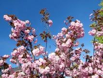 Thornhill дерево 2017 цветений Сакуры Стоковая Фотография RF