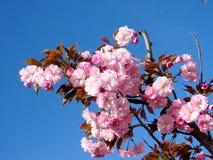 Thornhill дерево 2017 цветения Сакуры Стоковые Фотографии RF