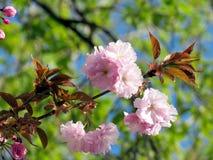 Thornhill Сакура цветет 2017 Стоковые Фото