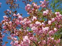 Thornhill цветение 2017 Сакуры Стоковое Изображение RF