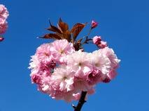 Thornhill цветок 2017 Сакуры Стоковые Фотографии RF