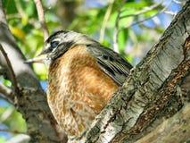 Thornhill Amerikaanse Robin op een boom 2017 Stock Afbeeldingen