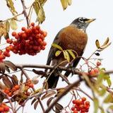Thornhill Amerikaanse Robin op een lijsterbessenboom 2017 Royalty-vrije Stock Afbeeldingen
