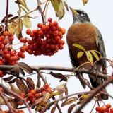 Thornhill Amerikaanse Robin op lijsterbessenboom 2017 Stock Afbeelding