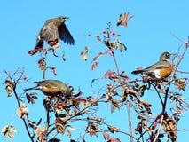 Thornhill Amerikaanse Robins op lijsterbessenboom 2017 Stock Afbeeldingen