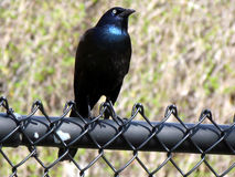 Thornhill Common Grackle 2011 Stock Photography