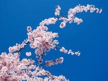 Thornhill die Kirschblütenniederlassung 2017 stockfotografie