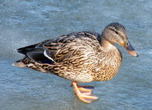 Thornhill duck on ice 2010 Royalty Free Stock Photos