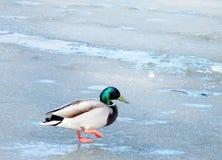 Thornhill Duck Walking sur la glace 2010 Photo libre de droits