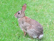 Thornhill eastern cottontail rabbit 2017 Royalty Free Stock Image