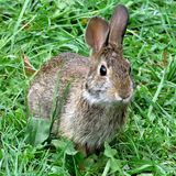 Thornhill eastern cottontail rabbit September 2017 Stock Images
