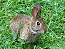 Thornhill the eastern cottontail rabbit September 2017 Stock Images