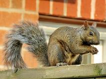 Thornhill-Eichhörnchen 2017 Stockfotografie