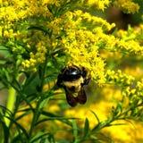 Thornhill el abejorro en vara de oro florece 2017 Imagenes de archivo