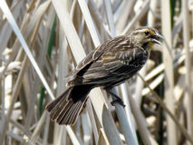 Free Thornhill Female Red-winged Blackbird Royalty Free Stock Photos - 73966378