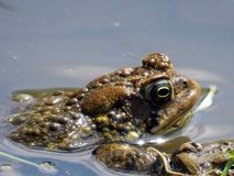 Thornhill frog 2017. Frog on the Oakbank Pond in Thornhill, Canada, April 28, 2017 Stock Photo