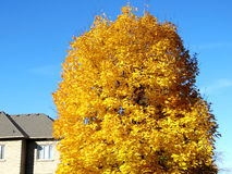 Thornhill gold maple tree 2016. Gold maple tree in Thornhill, Canada, November 6, 2016 Stock Image