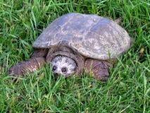 Thornhill la tartaruga sull'erba 2017 Fotografie Stock