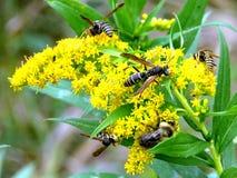 Thornhill las avispas en la flor amarilla oscura 2017 Fotos de archivo libres de regalías